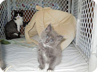 Domestic Longhair Kitten for adoption in CARVER, Massachusetts - Gabe