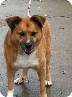 Chow Chow Mix Dog for adoption in Transfer, Pennsylvania - Sampson