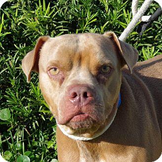 Boxer Mix Dog for adoption in Daytona Beach, Florida - Jethro