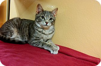 Domestic Shorthair Kitten for adoption in Ocean View, New Jersey - Harry @Petsmart in Somers Pt