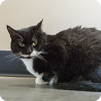 Domestic Shorthair Cat for adoption in Wilmington, Delaware - Boots