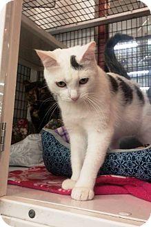 Domestic Shorthair Cat for adoption in Anoka, Minnesota - Cloudy