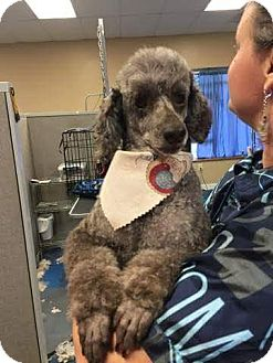 Poodle (Miniature) Mix Dog for adoption in benson, North Carolina - Ghini