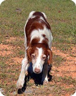 Brittany Mix Dog for adoption in Huntsville, Alabama - Harry