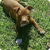 Adopt A Pet :: Screw - Gainesville, FL
