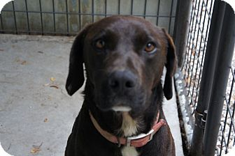 Labrador Retriever Mix Dog for adoption in Henderson, North Carolina - Radar*