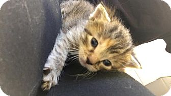 American Shorthair Kitten for adoption in Overland PArk, Kansas - Baby Girl 2