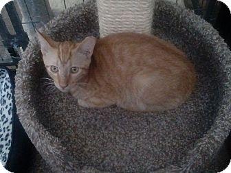 Domestic Shorthair Kitten for adoption in Glendale, Arizona - Milo