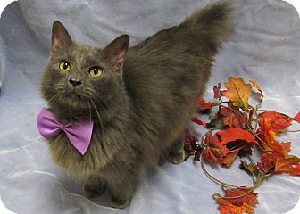 American Bobtail Cat for adoption in Lexington, North Carolina - UNCLE FESTER