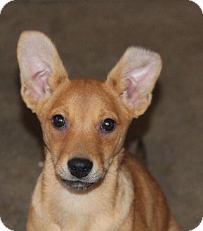 Basenji/Cattle Dog Mix Puppy for adoption in Phoenix, Arizona - Austin