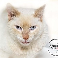 Siamese Cat for adoption in Belton, Missouri - Caspurr