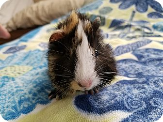 Guinea Pig for adoption in Harleysville, Pennsylvania - Roku