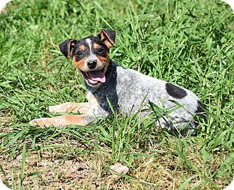 Feist/Cattle Dog Mix Puppy for adoption in Groton, Massachusetts - Adalie