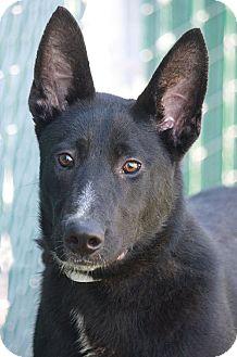 German Shepherd Dog Mix Puppy for adoption in Los Angeles, California - Jewel von Jena