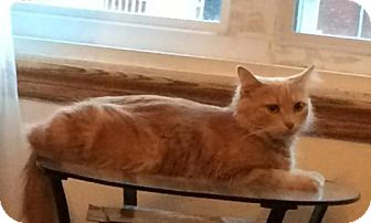 Domestic Mediumhair Cat for adoption in Montreal, Quebec - Yasmine