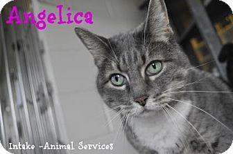 Domestic Shorthair Cat for adoption in Hamilton, Ontario - Angelica