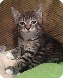 Domestic Shorthair Kitten for adoption in Reston, Virginia - Tina