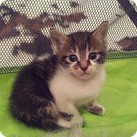 Domestic Shorthair Kitten for adoption in West Palm Beach, Florida - Orian
