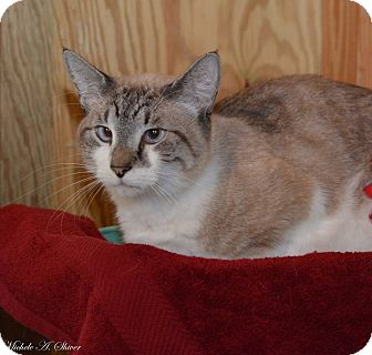 Siamese Cat for adoption in Daleville, Alabama - Tinker