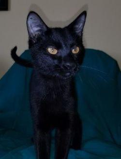 Domestic Shorthair/Domestic Shorthair Mix Cat for adoption in Larned, Kansas - Johann