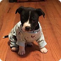 Adopt A Pet :: Kimmel - Holly Springs, NC