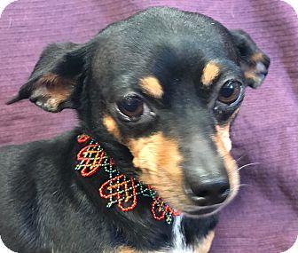 Chihuahua/Dachshund Mix Dog for adoption in Garland, Texas - Bailey
