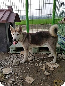 Jindo/Husky Mix Puppy for adoption in LONG ISLAND CITY, New York - Hush