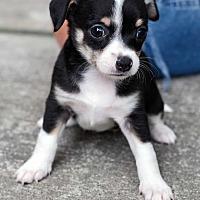 Adopt A Pet :: Daisy APPLICATIONS CLOSED - New York, NY