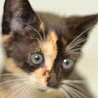 Adopt A Pet :: Lea and Starburst kitties - Norwalk, CT