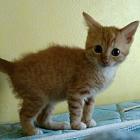 Domestic Shorthair Kitten for adoption in Ypsilanti, Michigan - Mitzi