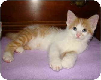 Domestic Shorthair Kitten for adoption in Taylor Mill, Kentucky - Archie