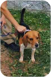Beagle Dog for adoption in Old Bridge, New Jersey - Goose