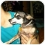 Photo 2 - Chihuahua Dog for adoption in Baltimore, Maryland - Pee-Wee