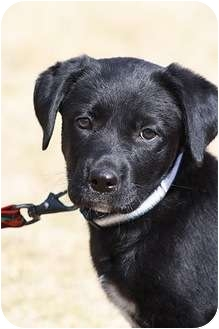 Labrador Retriever/Retriever (Unknown Type) Mix Puppy for adoption in Broomfield, Colorado - Manicotti
