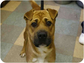 Shar Pei Mix Dog for adoption in Newport, Vermont - Zack