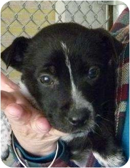 Border Collie Mix Puppy for adoption in Grants Pass, Oregon - Mahalo