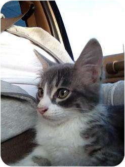Domestic Mediumhair Kitten for adoption in Mobile, Alabama - Fred