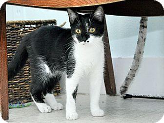 Domestic Shorthair Kitten for adoption in Bradenton, Florida - Polly