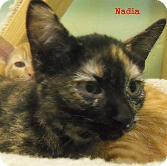 Domestic Shorthair Kitten for adoption in Slidell, Louisiana - Nadia