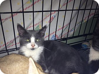 Domestic Shorthair Kitten for adoption in East Hanover, New Jersey - Bugsy