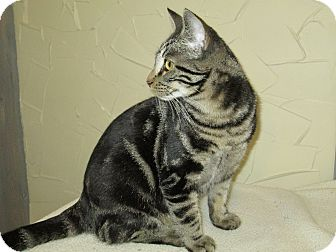 American Shorthair Cat for adoption in Richland, Michigan - Jasmine
