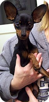 Miniature Pinscher/Chihuahua Mix Dog for adoption in Salem, Ohio - Frost