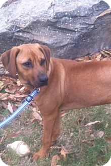 Labrador Retriever/Hound (Unknown Type) Mix Dog for adoption in Glastonbury, Connecticut - Abby Grace