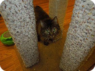 Domestic Mediumhair Cat for adoption in Medina, Ohio - Lyla