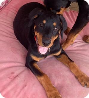 Rottweiler Puppy for adoption in Gilbert, Arizona - Justice