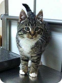 Domestic Shorthair Kitten for adoption in Mount Clemens, Michigan - Ellen