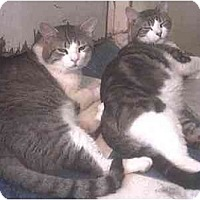 Adopt A Pet :: Laurel & Hardy - Forest Hills, NY