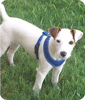 Jack Russell Terrier Dog for adoption in Houston, Texas - Penny