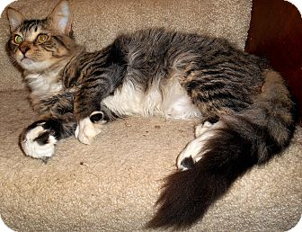 Maine Coon Kitten for adoption in Chattanooga, Tennessee - Emmitt