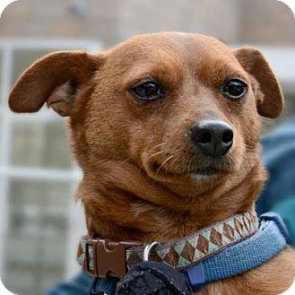 Miniature Pinscher Mix Dog for adoption in Denver, Colorado - Nike